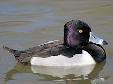Ring Necked Duck (Slimbridge 25/03/11)