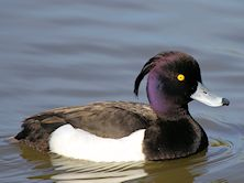 Tufted Duck (Slimbridge 09/04/11)