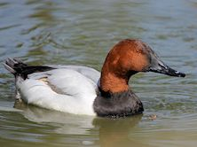 Canvasback (Slimbridge 09/04/11)