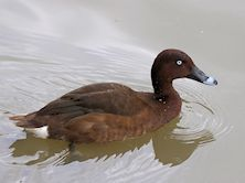 Ferruginous Duck (Slimbridge 15/08/11)