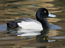 Greater Scaup (Slimbridge 24/03/12)