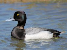 Lesser Scaup (Slimbridge 26/05/12)