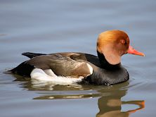 Red Crested Pochard (Slimbridge 25/03/11)