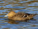 Eider (WWT Slimbridge November 2013) - pic by Nigel Key