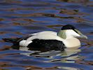 Eider (WWT Slimbridge March 2014) - pic by Nigel Key