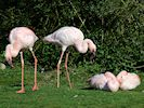 Lesser Flamingo (WWT Slimbridge March 2014) - pic by Nigel Key