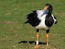 Magpie Goose (WWT Slimbridge March 2014) - pic by Nigel Key
