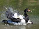 Magpie Goose (WWT Slimbridge May 2014) - pic by Nigel Key
