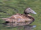 Eider (WWT Slimbridge July 2014) - pic by Nigel Key