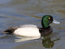Greater Scaup (WWT Slimbridge April 2015) - pic by Nigel Key