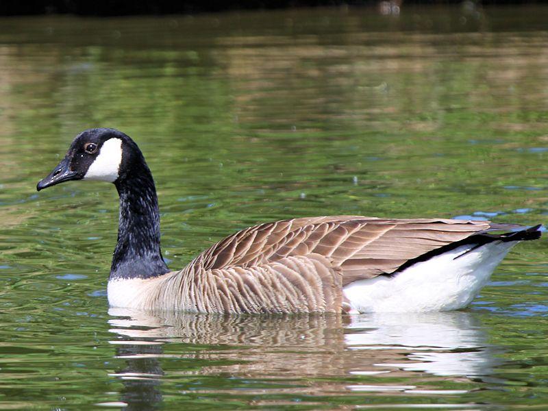 Canada Goose womens replica cheap - CANADA GOOSE - WWT SLIMBRIDGE