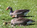 Greylag Goose (WWT Slimbridge May 2015) - pic by Nigel Key