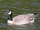 Canada Goose (WWT Slimbridge October 2016) - pic by Nigel Key