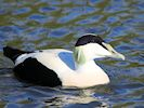 Eider (WWT Slimbridge 20) - pic by Nigel Key