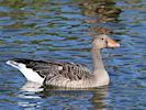 Greylag Goose (WWT Slimbridge October 2016) - pic by Nigel Key