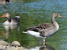 Greylag Goose (WWT Slimbridge May 2017) - pic by Nigel Key