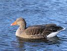 Greylag Goose (WWT Slimbridge November 2017) - pic by Nigel Key