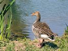 Greylag Goose (WWT Slimbridge May 2018) - pic by Nigel Key