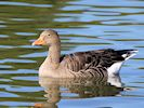 Greylag Goose (WWT Slimbridge September 2018) - pic by Nigel Key