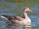 Greylag Goose (WWT Slimbridge March 2019) - pic by Nigel Key