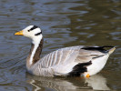 Bar-Headed Goose (Slimbridge March 2011)