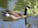 Canada Goose (Slimbridge March 2012)