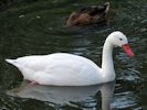 Coscoroba Swan (Slimbridge July 2013)