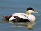 Eider (WWT Slimbridge June 2010) - pic by Nigel Key
