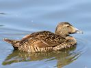 Eider (WWT Slimbridge July 2013) - pic by Nigel Key