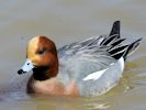 Eurasian Wigeon (Slimbridge April 2013)