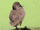 Freckled Duck (Slimbridge 08-09-12)