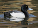 Greater Scaup (WWT Slimbridge March 2012) - pic by Nigel Key