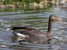 Greylag Goose (WWT Slimbridge July 2013) - pic by Nigel Key