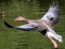 Greylag Goose (WWT Slimbridge August 2009) - pic by Nigel Key