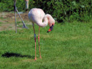 Lesser Flamingo (WWT Slimbridge May 2012) - pic by Nigel Key