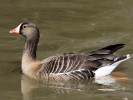 Lesser White-Fronted Goose (Slimbridge March 2011)