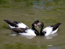 Magpie Goose (Slimbridge May 2012)