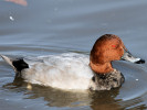 Pochard (Slimbridge October 2008)