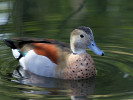 Ringed Teal (Slimbridge October 2011)