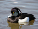 Tufted Duck (Slimbridge April 2011)