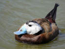 White Headed Duck (Slimbridge 09-04-11)