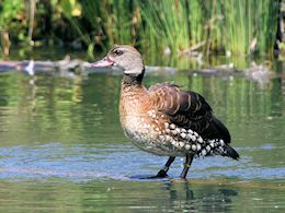 Spotted Whistling Duck (WWT Slimbridge May 2018) - pic by Nigel Key