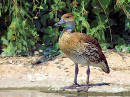 West Indian Whistling Duck (WWT Slimbridge July 2013) - pic by Nigel Key