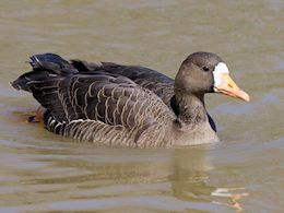 White-Fronted Goose (WWT Slimbridge April 2013) - pic by Nigel Key