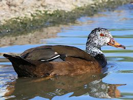 White-Winged Duck (WWT Slimbridge May 2015) - pic by Nigel Key