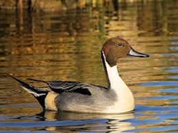Northern Pintail (WWT Slimbridge March 2014) - pic by Nigel Key
