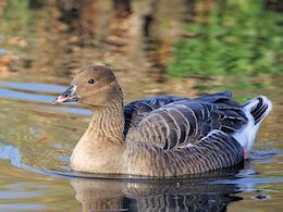 Pink-Footed Goose (WWT Slimbridge November 2017) - pic by Nigel Key