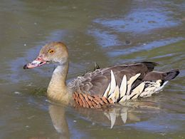 Plumed Whistling Duck (WWT Slimbridge May 2015) - pic by Nigel Key