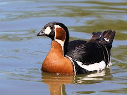 Red-Breasted Goose (WWT Slimbridge June 2015) - pic by Nigel Key