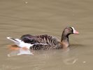 Lesser White-Fronted Goose (WWT Slimbridge July 2013) - pic by Nigel Key